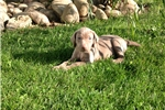 Picture of AKC Female Weimaraner-