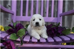 Picture of Katlyn the English Cream Retriever
