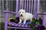 Picture of Kinsey the English Cream Retriever