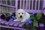 Picture of Kisha the English Cream Retriever