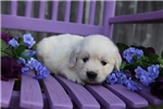 Picture of Klaudia the English Cream Retriever