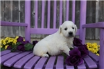 Picture of Kasandra the English Cream Retriever