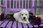 Picture of Kandi the English Cream Retriever