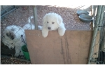 Great Pyrenees for sale