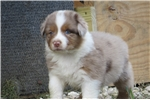 Picture of Abby - Red Merle Female