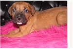 Picture of Red Cane Corso female