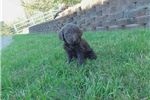 Picture of Beautiful Family Raised Labradoodle Puppy