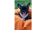 Picture of Adorable Elite French bulldog puppy