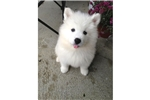 Picture of Healthy Samoyed puppy.