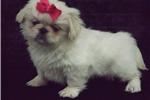 Picture of Pekingese toy female