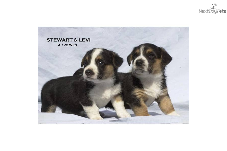 Cardigan Welsh Corgi Puppies For Sale In California 63
