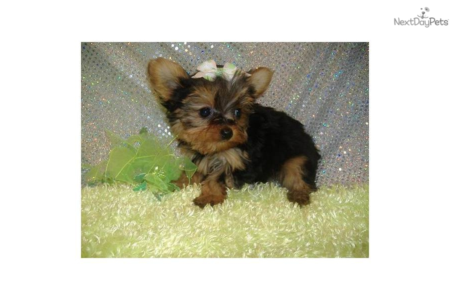 Parti Yorkies In Missouri | Dog Breeds Picture