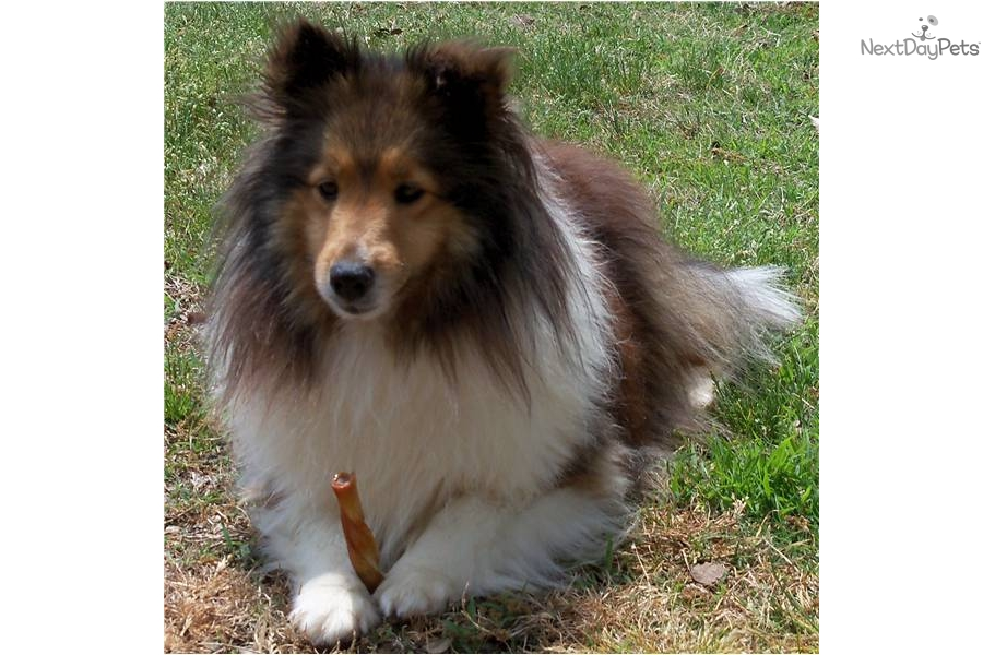 Meet Chloe a cute Shetland Sheepdog - Sheltie puppy for sale for $250 ...
