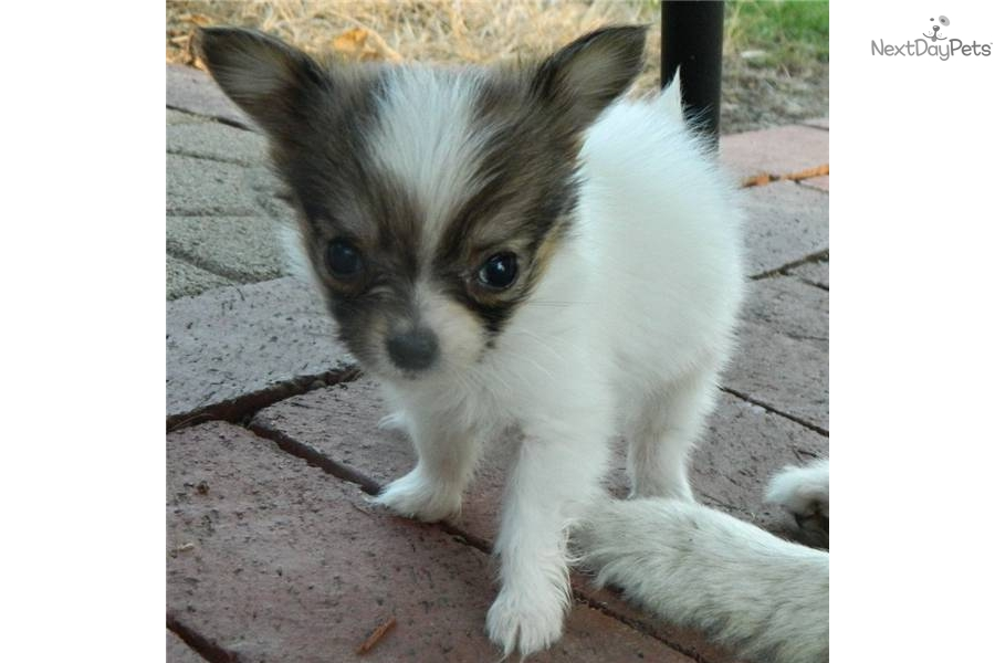 Akc windys girl white and sable tiny dog papillon puppy 37118e4f 64cb