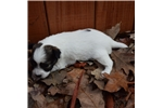 Picture of AKC Destiny's White and Sable Female