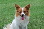 Picture of AKC White and Red Spayed Female