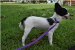 Picture of AKC White and Black Papillon Male