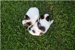Picture of AKC Destiny's White and Sable Female 2