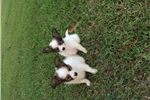 Picture of AKC Destiny's White and Sable Male 1