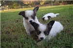 Picture of AKC Destiny's White and Sable Male 2