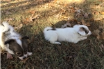 Picture of AKC White and Sable Papillon Female 2