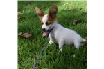 Picture of AKC White and Sable Papillon Male 1
