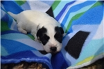 Picture of AKC Bella's Boy