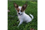 Picture of AKC White and Sable Papillon Male 2