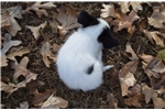 Picture of AKC White and Black Papillon Male 1
