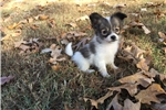 Picture of AKC White and Sable Papillon Female 1