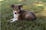 Picture of AKC Sable Sheltie Male   *Ready now*