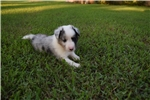 Picture of AKC Sassy's Blue Merle Male 1