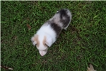 Picture of AKC Sassy's Sable Merle Female