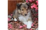 Picture of AKC Ginger's Sable Male Boy 1