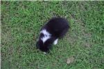 Picture of AKC Sassy's Tri Colored Female