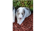 Picture of AKC Sassi's Sable Merle Male
