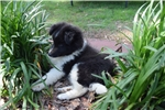 Picture of AKC Indy's Bi Black Girl