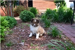 Picture of AKC Indy's Sable Boy