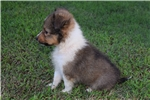 Picture of AKC Autumn's Boy 2