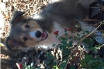 Picture of AKC Sable Sheltie Male