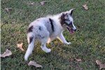 Picture of AKC Sassy's Blue Merle Male 2