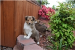 Picture of AKC Ginger's Sable Male Boy 2