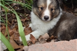 Picture of AKC Lacey's Sable Boy 1