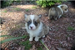 Picture of AKC Maddie's Sable and White Male