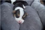 Picture of AKC Roxy's Tri colored boy 2