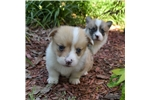 Picture of AKC Maddie's Red and White Male