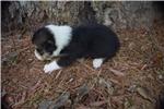 Picture of AKC Roxy's Tri colored boy 3
