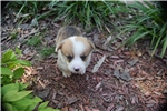 Picture of AKC Maddie's Red and White Male boy 3