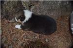 Picture of AKC Roxy's Tri colored boy 1