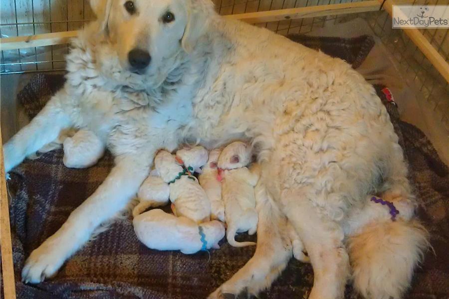 Kuvasz Puppies Price Kuvasz puppy for sale ...